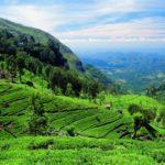 Чай – бесценное сокровище Шри-Ланки