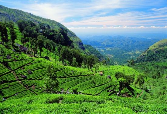 Острой Цейлон - чай.