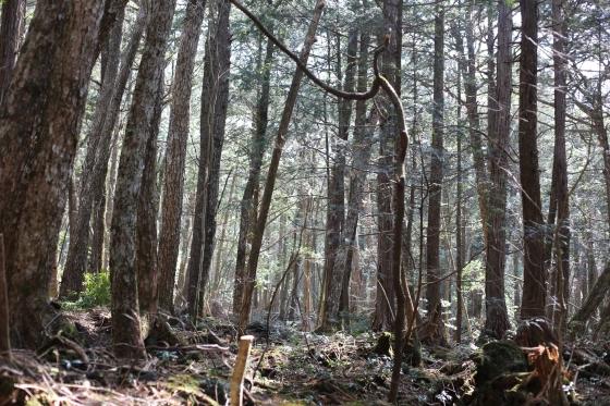Лес Аокигахара Япония - страшный лес.