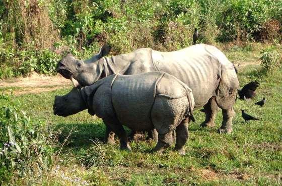 Пара носорогов в Читване.