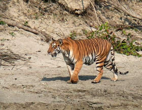 Бенгальский Тигр встречается в Четване.